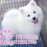 广州纯种萨摩耶广州萨摩犬价格多少图片