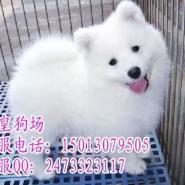 广州宠物狗市场广州哪里有卖萨摩耶图片