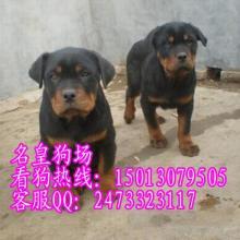 供应东莞出售防暴犬东莞哪里有卖罗威纳东莞哪里有卖防暴犬罗威纳小狗图片