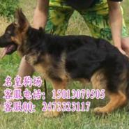 广州哪里有卖黑背弓背德国牧羊犬图片
