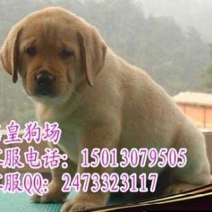 广州哪里有卖拉布拉多广州卖导盲犬图片