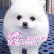 广州纯种博美哪里有卖博美犬好养吗图片