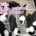 广州哪里有卖纯种边境牧羊犬边牧犬图片