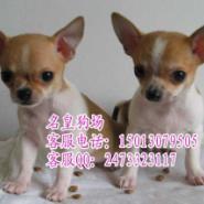 广州哪里有卖宠物狗广州吉娃娃幼犬图片