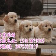 广州边度有卖金毛犬广州金毛犬价格图片