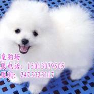 广州什么地方有卖博美犬纯种博美犬图片