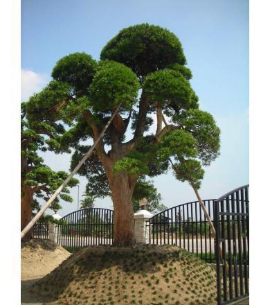 罗汉松图片|罗汉松样板图|日本罗汉松如何养殖