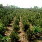 供应白皮松营养杯20-80共分分,1米-2米,2米-3米。