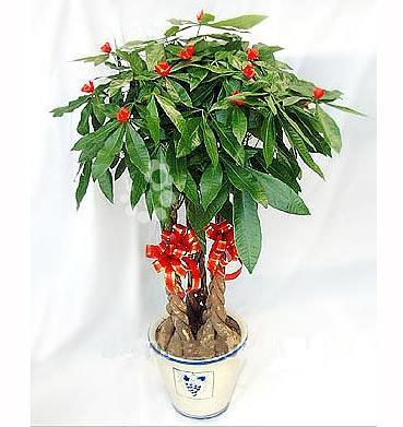 植物红掌怎么养_花卉盆景图片 花卉盆景样板图 花卉盆景效果图_苏州佳美园艺