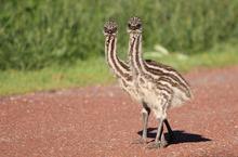 供应澳洲鸵鸟苗批发/澳洲鸵鸟苗价格/澳洲鸵鸟苗在哪里订购