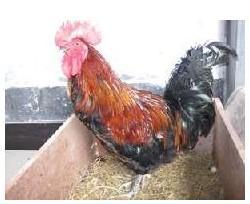 红羽公鸡苗图片