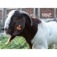 供应出售各种肉羊批发