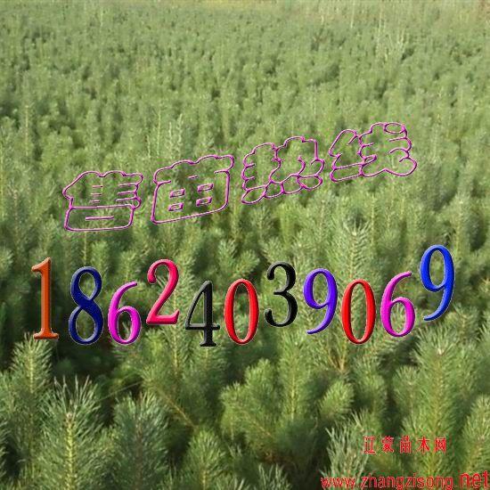 樟子松价格 樟子松树苗价格 章古台樟子松树苗价格 樟子松小苗价格