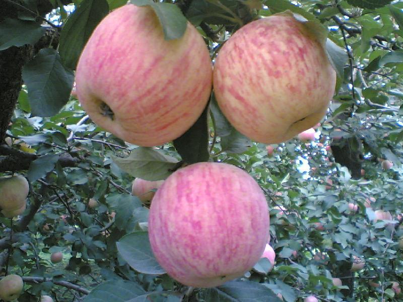 供应红富士膜袋红富士苹果,红富士膜袋红富士苹果价格