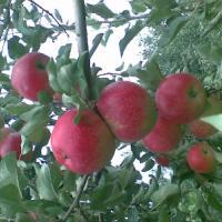 供应山东烟台苹果