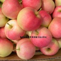 供应运城花冠苹果
