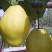 6月酥梨图片