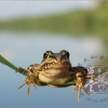 供应青蛙蝌蚪青蛙蝌蚪苗批发