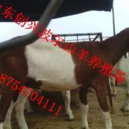 一针见效牛传染性胸膜肺炎图片