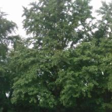 30cm银杏树价格