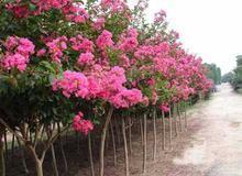 红花紫薇小苗的种植方法_红花紫薇小苗的种植