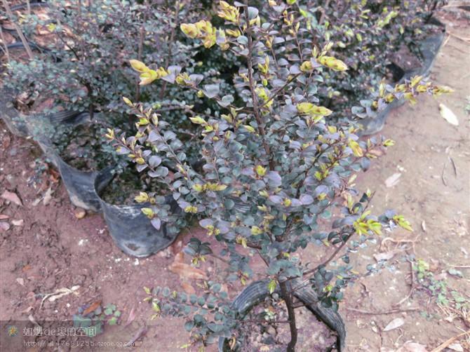 供应印度小叶紫檀(檀香)树苗印度小叶紫檀檀香树苗