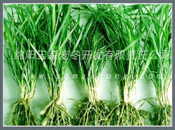 供应川麦冬药材种苗
