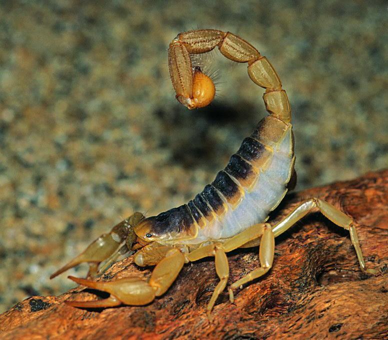 蝎子养殖,黄粉虫