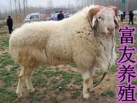 供应哪个季节最适合养殖肉羊?什么时候养羊最合适