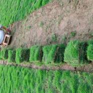 海南海口三亚台湾草供应商图片