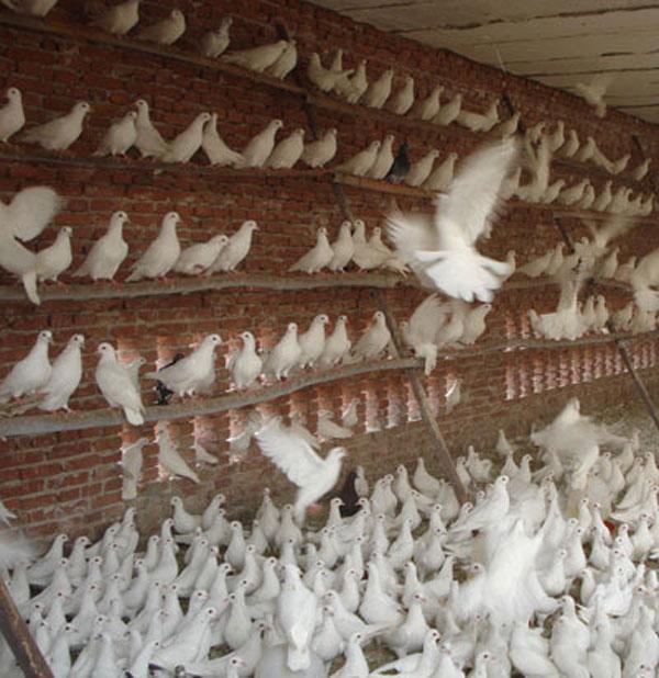 肉鸽 鸽子/总公司生产供应肉鸽的品种