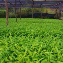供应沉香树苗市场价格