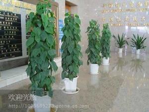 供应上海浦东专业植物租摆公司、办公室摆放什么植物好
