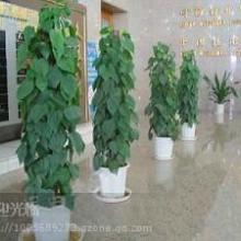 供应浦东专业花卉公司/ 办公室摆放什么植物好/植物与室内空气治理批发