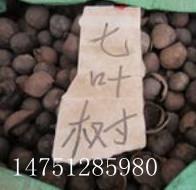 供应江苏新河七叶树种子/七叶树种植栽培技术/七叶树种子价格批发