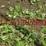 供应江苏速生腊梅苗/腊梅芽苗价格/腊梅小苗种植基地图片