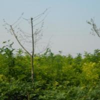 供应棕榈生产供应商,棕榈的报价,棕榈苗圃