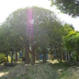 供应青岛重阳木-重阳木便宜,苗场自销,规格齐全,品质高,价优