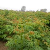 供应黄山栾树的种植技术,栾树的价钱,栾树销售