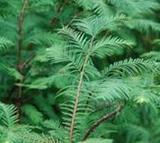 供应水杉种子,水杉种子价格,水杉种子出售,林木种子供应商