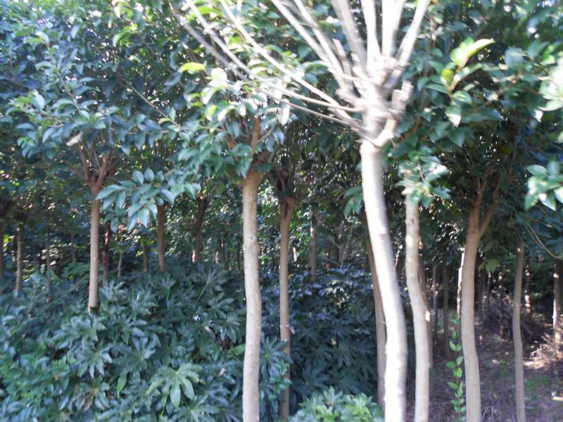 供应盐城大丰枇杷树批发,大丰枇杷树种植,盐城大丰枇杷树价钱