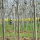 供应黄山栾树的种植