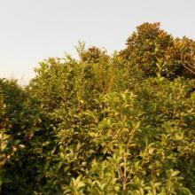 供应重阳木小苗的价格,重阳木小苗批发,重阳木小苗供应商