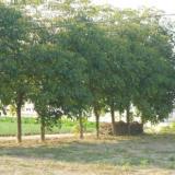 供应盐城绿化苗木管理措施,盐城绿化苗木种植技术,盐城绿化苗木销售