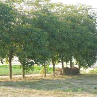 供应盐城大丰枇杷树生产商,大丰枇杷树批发,大丰枇杷树行情