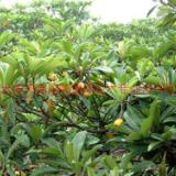供应江苏枇杷树苗生产 江苏枇杷树苗生产基地 江苏盐城枇杷树苗生产