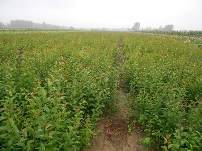 供应盐城紫薇树供应商销售,江苏紫薇树价格,江苏紫薇树基地