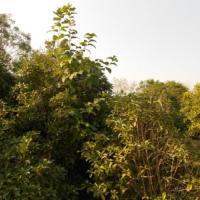 供应江苏盐城大丰枇杷树种植基地,盐城大丰枇杷树生产商,盐城大丰枇杷树