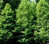 供应大丰中山杉种植基地