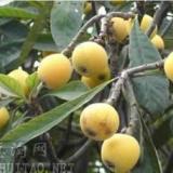 枇杷树供应,枇杷树种子,枇杷树批发